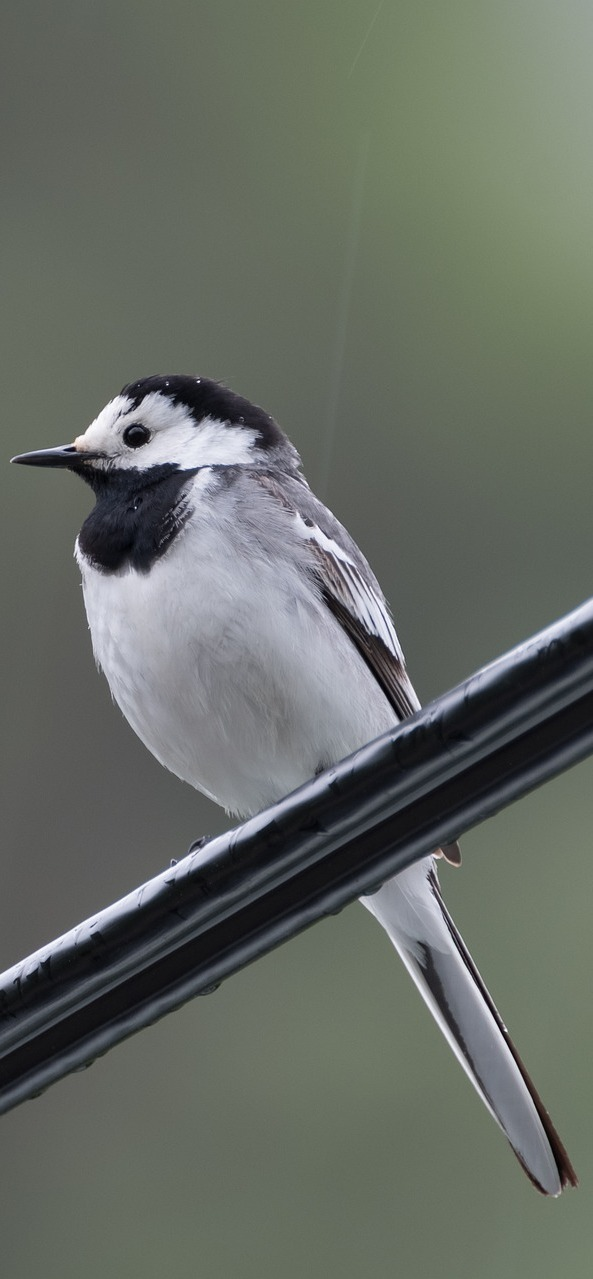 Picture of a white wagtail.