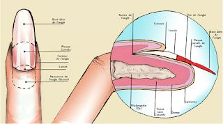 Tout sur l'ongle :structure , composition, physiologie, affections de l'ongle