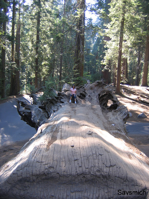 fallen sequoia tree