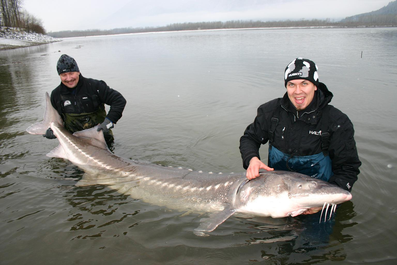 Big Fishes of the World: STURGEON WHITE (A. transmontanus)