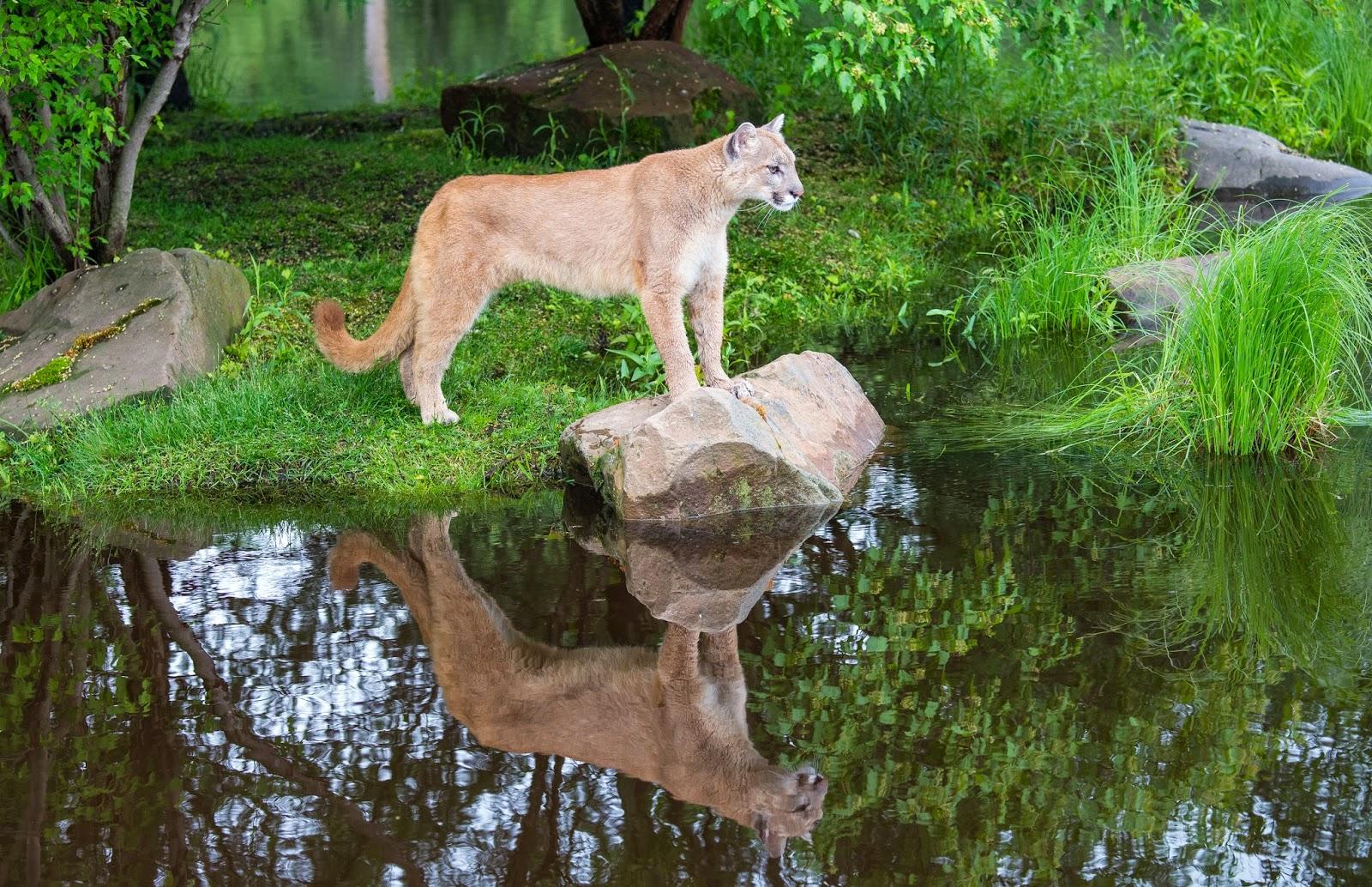 Cougar in her natural habitat