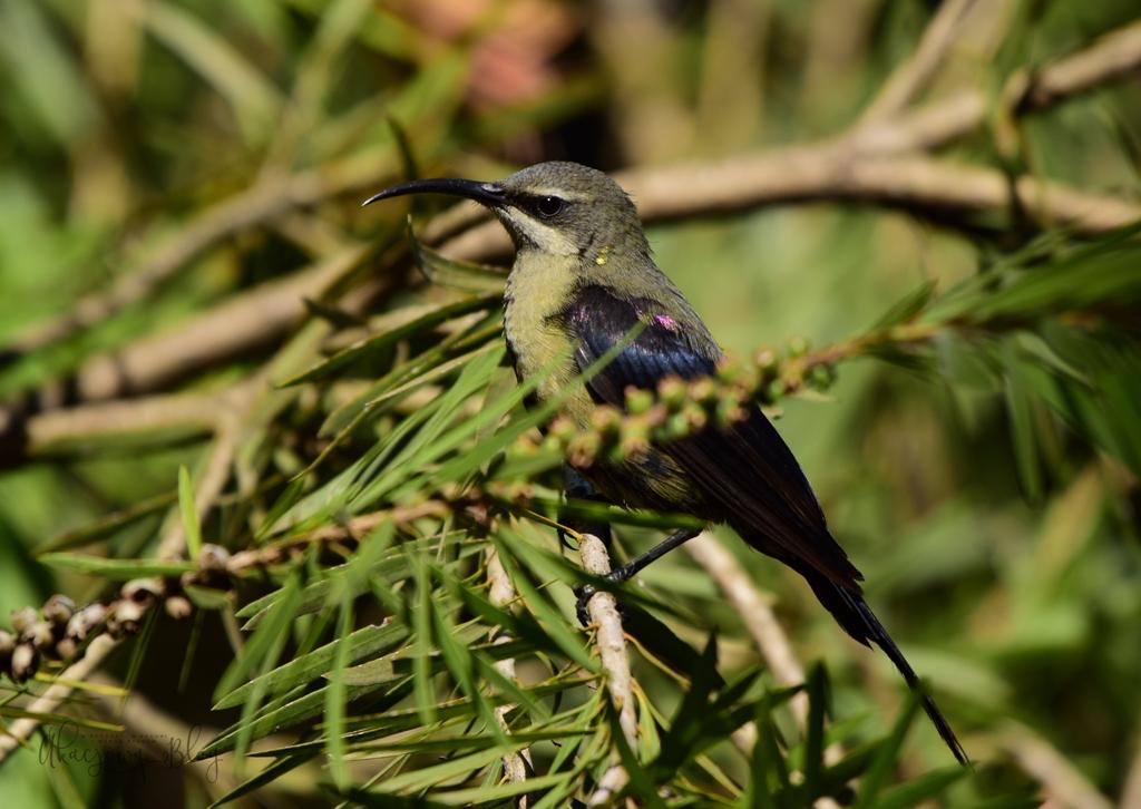 Ptaki Etiopii - w Parku Ghion.