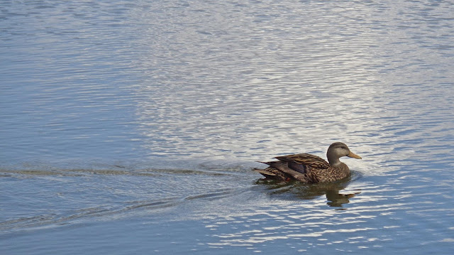 Florida mottled duck swimming in a South Florida lake