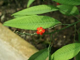 Euphorbe éclatante - Euphorbia fulgens