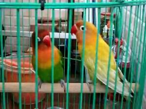 cara merawat lovebird jantan agar bisa juara lomba