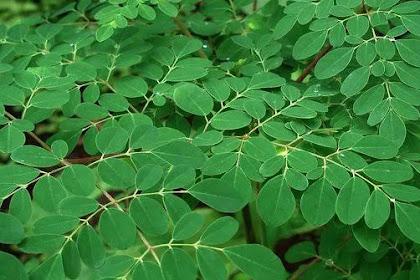 Manfaat daun Kelor untuk tubuh anda