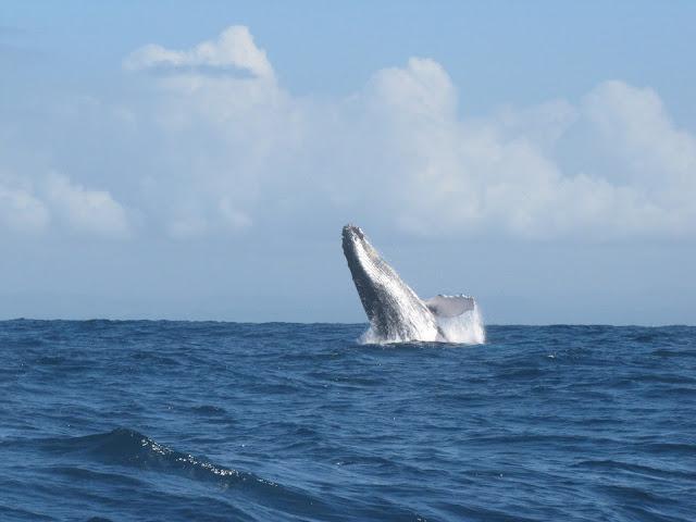sainte marie madagascar humpback whale breaching