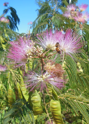 Bee in Silk Tree Flower with Buds and Fruits, © B. Radisavljevic