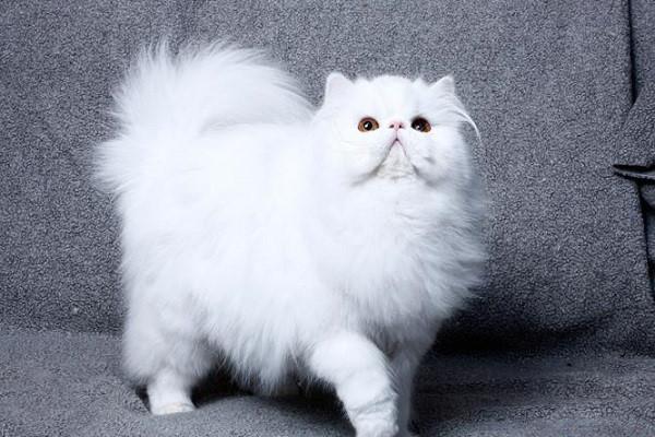 Chia sẻ kinh nghiệm chăm sóc mèo ba tư