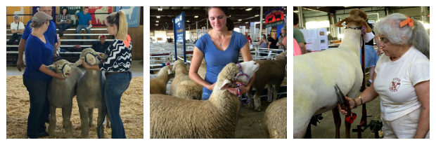 New England Fall Events_The Big E_Agriculture_4H_Mallary Complex_Goat and Sheep Showing