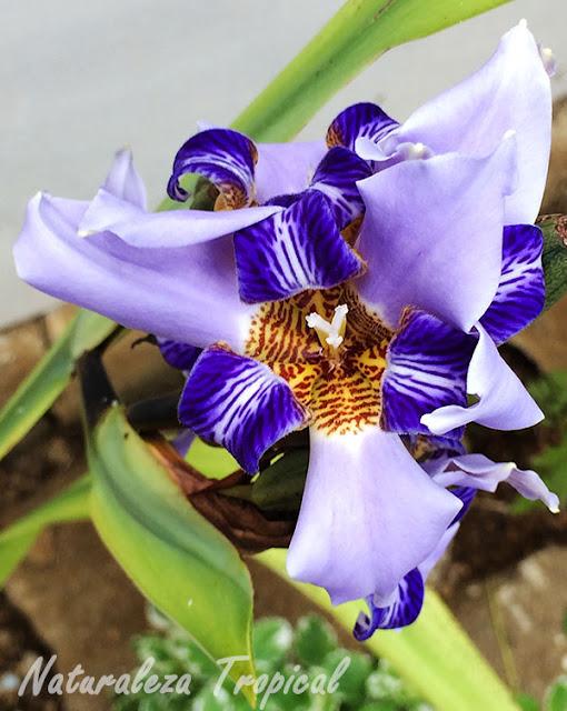 Flor del género Neomarica que crece en nuestro jardín