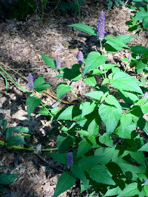 Anise Hyssop in bloom