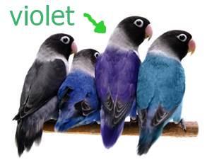 Unduh 92+ Gambar Burung Violet Keren Gratis