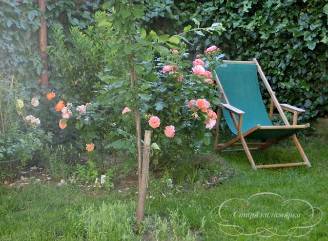 розы в саду, розы, розарий