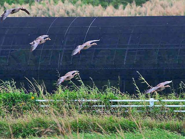 Bean Geese, Anser serrirostris, birds, migratory