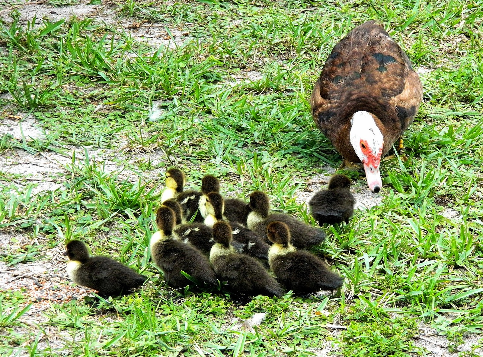 We have 10 new Muscovy babies! | Backyard World