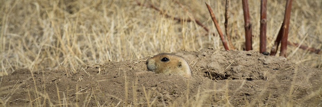 Prairie Dog, Two Brands Trail