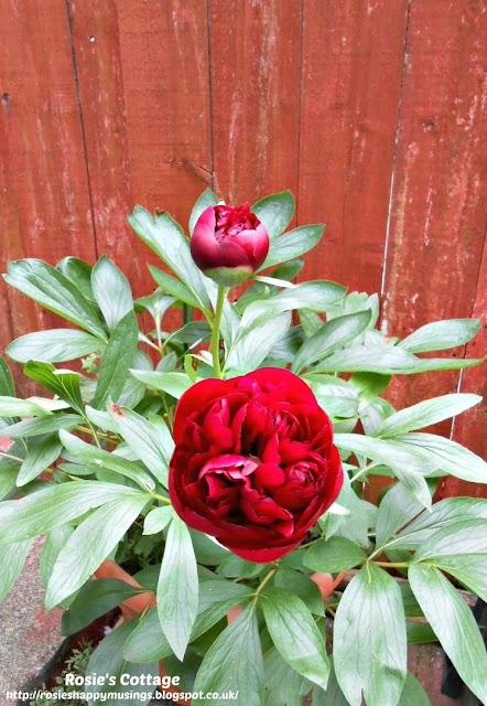 Beautiful peony roses in bloom.