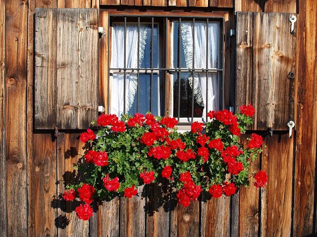 îngrijirea mușcatei, pelargonium, geranium mușcata