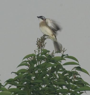Chinese Bulbul (Pycnonotus sinensis)