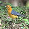 Cara Mengatasi Karakter Aneh Burung Anis Merah Muda