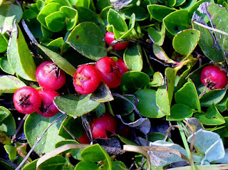 wintergreen fruit