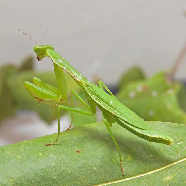 Caribbean praying mantises have ancient African origin