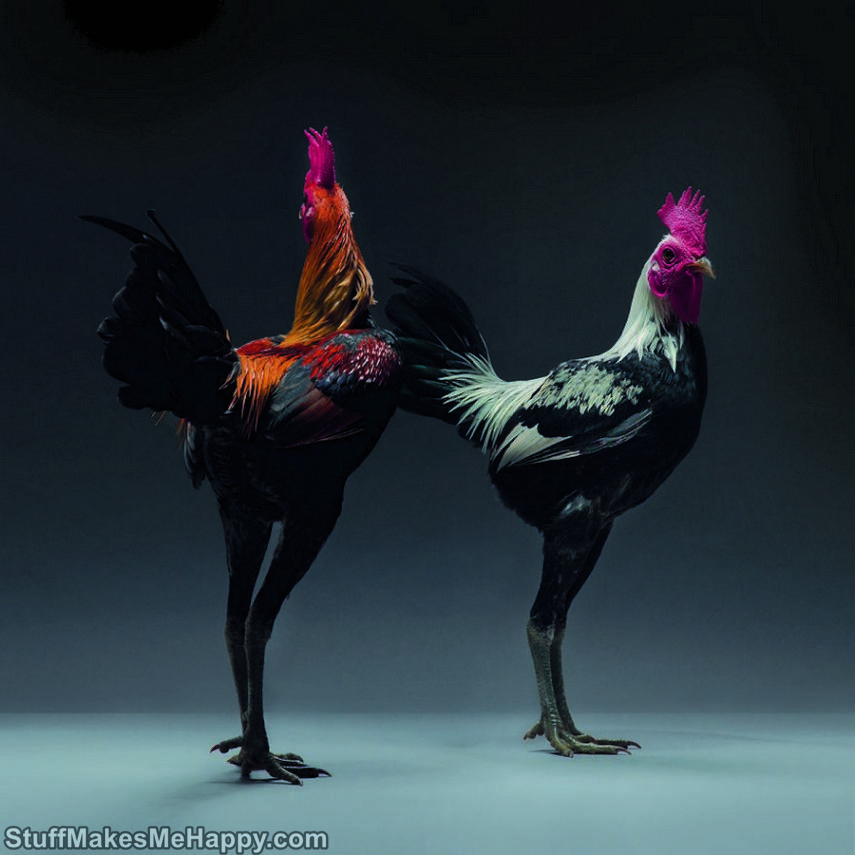 Chicken Photography, The Best and Most Beautiful Chickens in the World