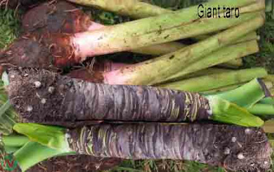 giant taro vegetable; giant taro