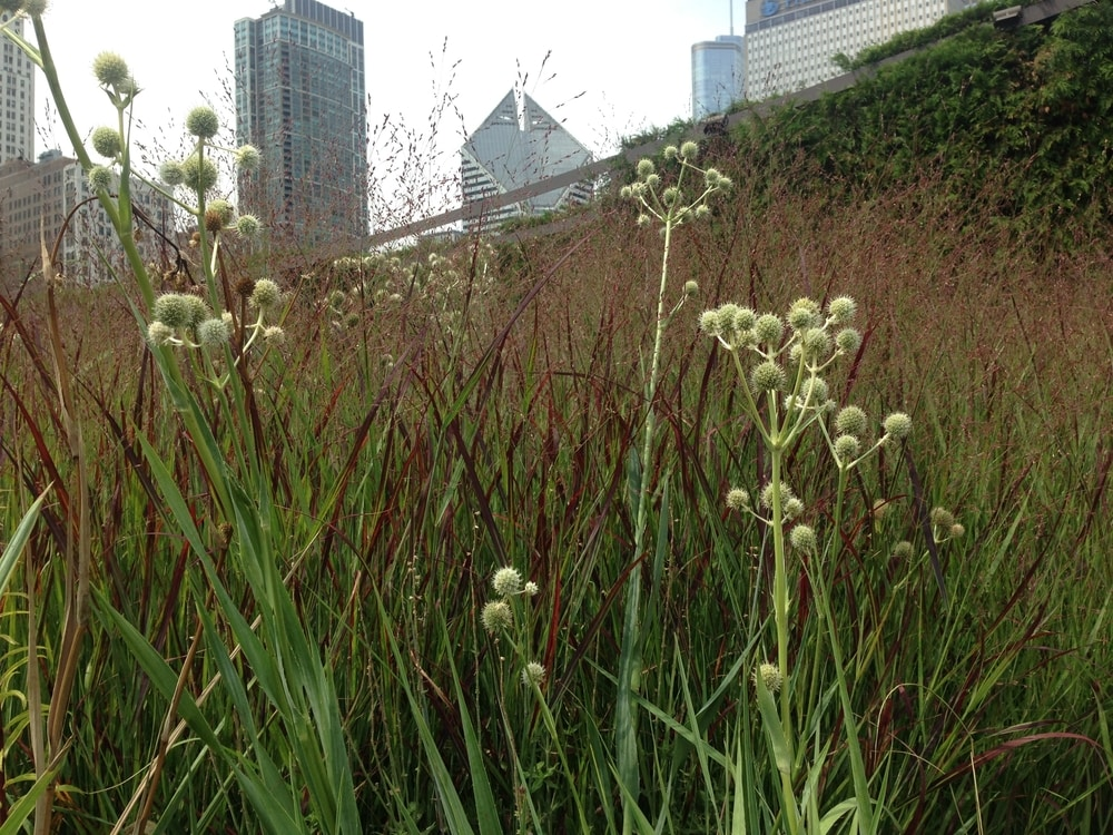 A plant combination of Eryngium yuccifolium and a red leaved cultivar of grass Panicum virgatum in Lurie Garden, with the city of Chicago as a backdrop