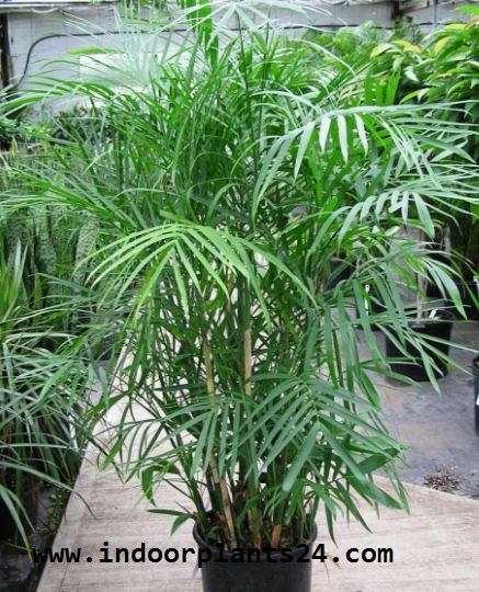 PARLOR  PALM indoor plant