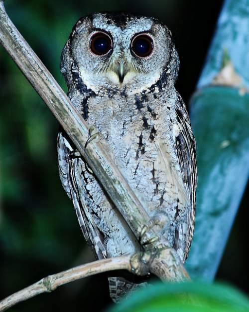 Birds of India - Image of Collared scops owl - Otus lettia