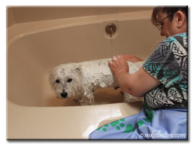 Westie with shampoo on his body