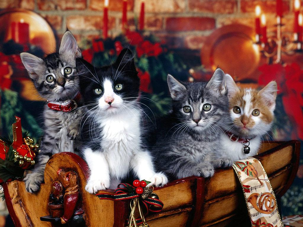 Christmas kitten wallpapers wallpapers high definition - Free wallpaper of kittens ...