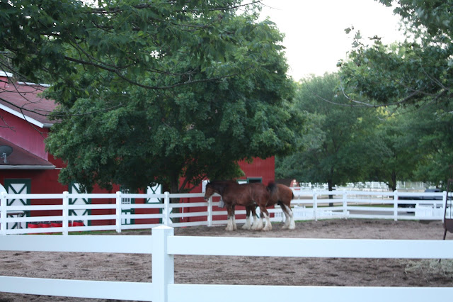 Clydesdales relaxing in the evening at Grant's Farm