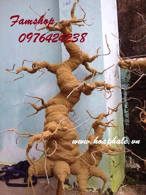 Goc bonsai mai dao o Bac Son