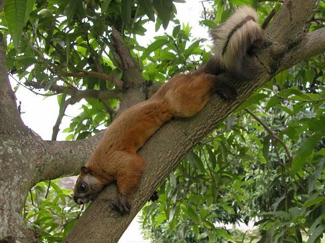 JB-ADVENTURE: Tupai Besar di Hutan Kalimantan