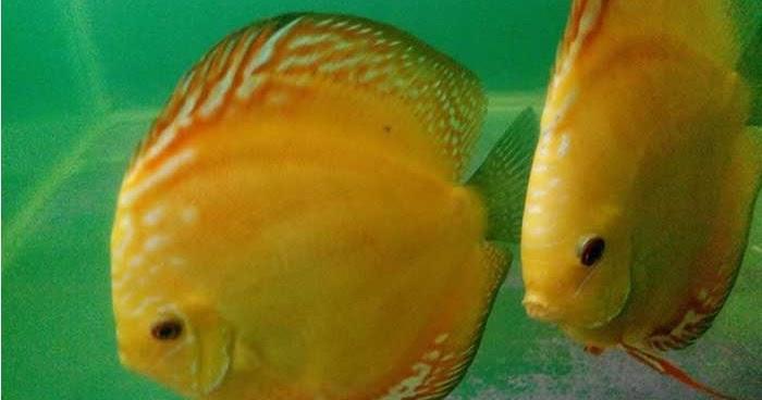 Perbedaan Anatomi Ikan Discus Jantan Dan Betina