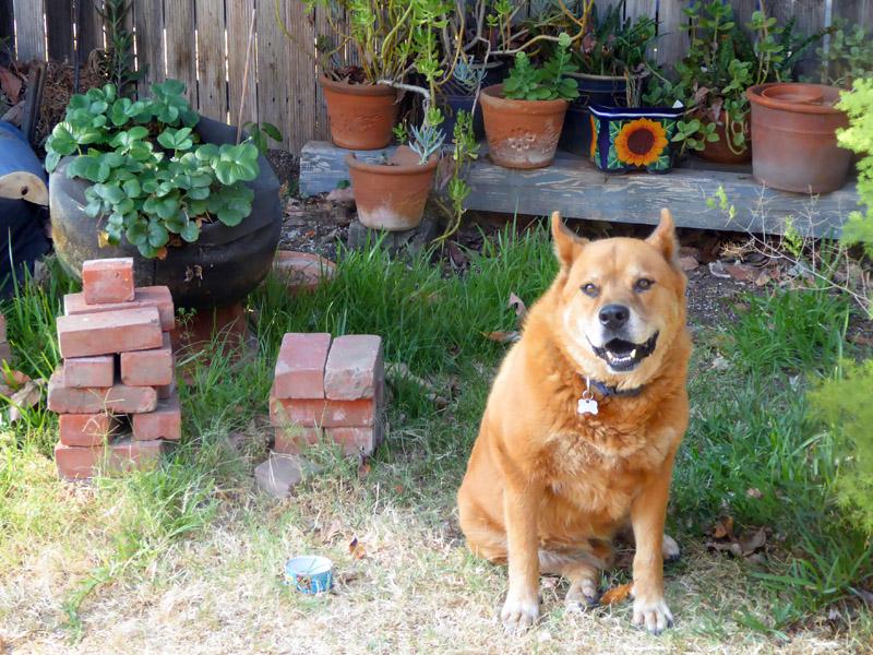 Chowderhead sits with the bricks near the strawberry plant