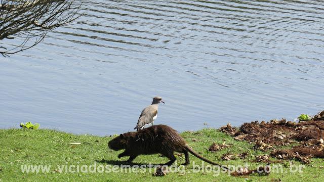 Ratão do banhado e quero-quero à beira do lago