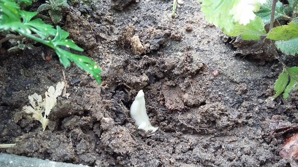 replantar alho na horta