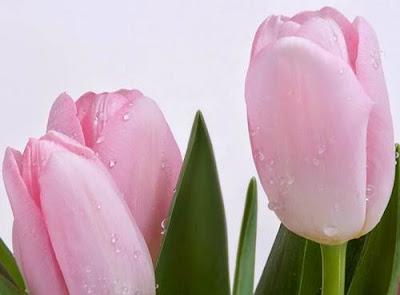 Wallpaper Bunga Tulip Pink