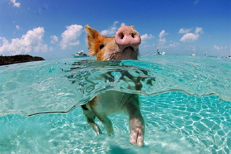 Happy Pigs Swimming Are Already Bizarre But When You Hear How They Got There… WOW!
