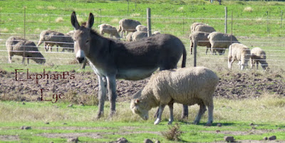 Donkey guarding sheep