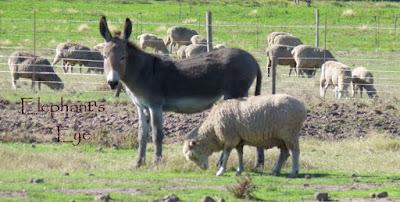Donkey guarding sheep
