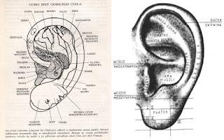 Ucho Podział - Aurikulopunktura - refleksoterapia uszna