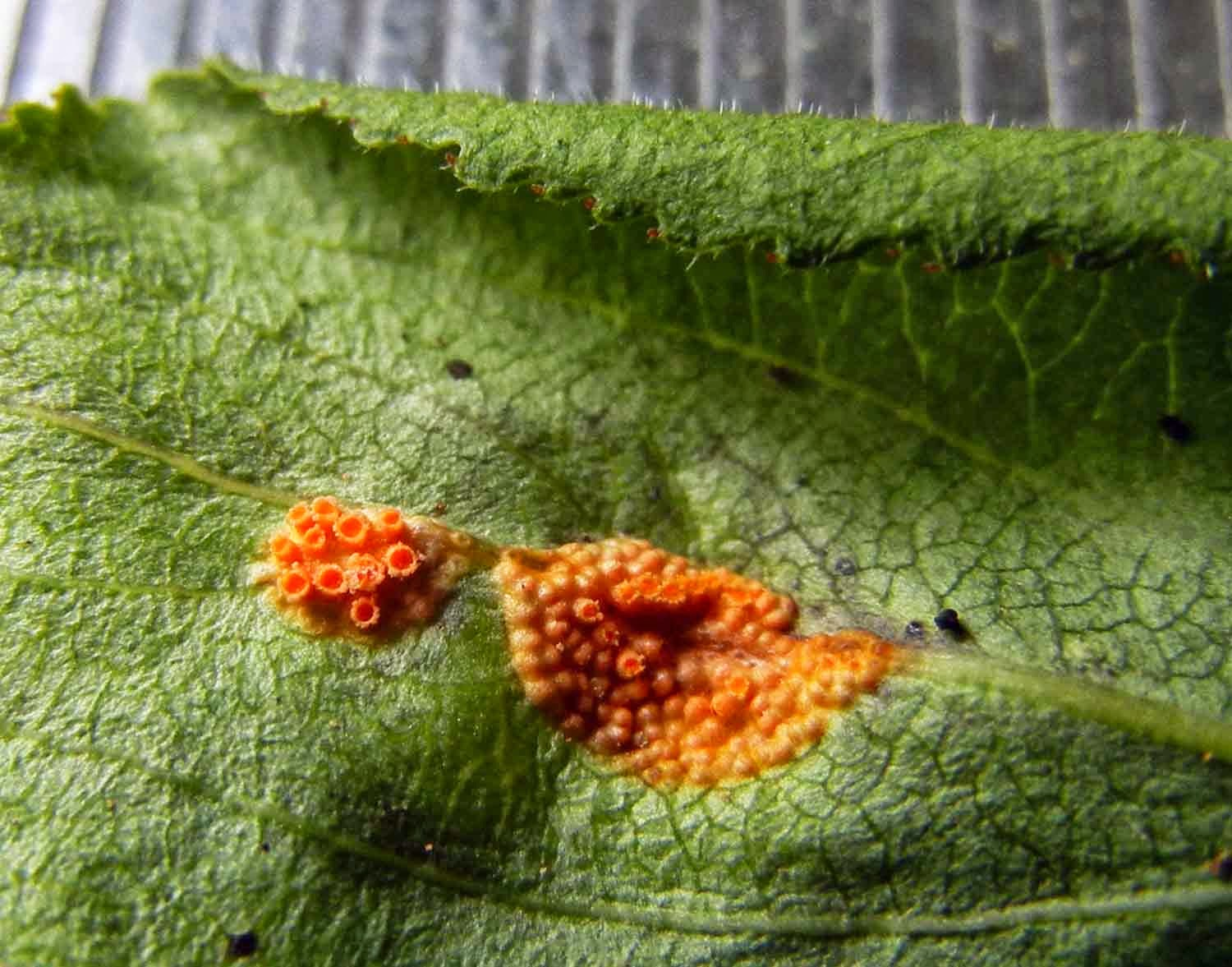 close-up of Puccinia coronata rust fungus on buckthorn