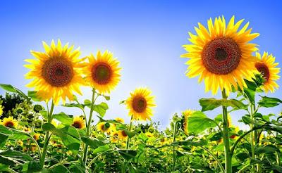 filosofi bunga matahari,arti bunga matahari,cara menanam bunga matahari,budidaya bunga matahari,ciri-ciri bunga matahari,klasifikasi bunga matahari,manfaat bunga matahari,bunga matahari putih,