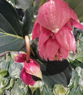 Medinilla i blomst