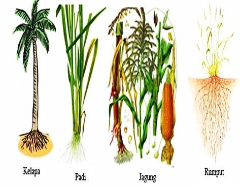 Pengertian Dan Contoh Tumbuhan Akar Serabut Belajar Aktif